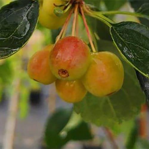 Яблоня сахалинская Пендула